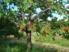 albero-di-ciliegie